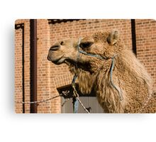 Camel In Suburbia Canvas Print