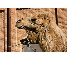Camel In Suburbia Photographic Print