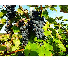 Grapes - Mosel eiver - Germany Photographic Print