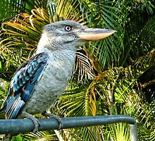 Northern Australian Kookaburra by V1mage