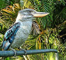 Northern Australian Kookaburra by V1mage