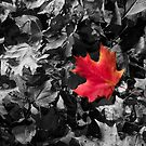 Singled Out Red Maple Leaf by daphsam
