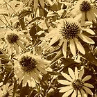 Cone Flowers in Sepia by Deb  Badt-Covell