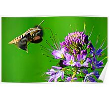 White Lined Sphinx Moth Poster