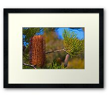 Australian Gold-and-red Styles Lantern Banksia Framed Print