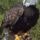 Majestic Eagle ......... by lynn carter
