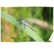 Dragon Fly on a Reed Poster
