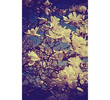 white magnolia Photographic Print