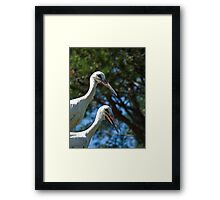 White stork couple, Ciconia ciconia Framed Print