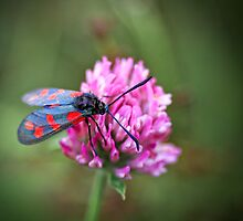 Found a Six-spot Burnet... by Bob Daalder