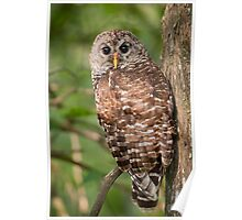 Barred Owl on a Saturday morning in August Poster