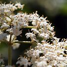 Lightness of Being ~Elderberry Flowers by Linda  Makiej