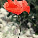 Roadside Poppy by Astrid Ewing Photography