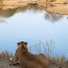 Lion overlooking waterhole by gogston