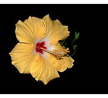 Hibiscus Flower Photographic Print