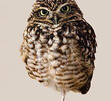 Little Owl by Matthew Bates