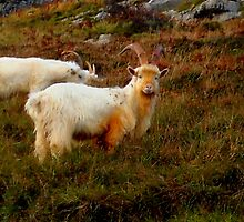 Welsh Goat  with Horns by John Evans