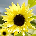 Sunflower Pale yellow by KSKphotography