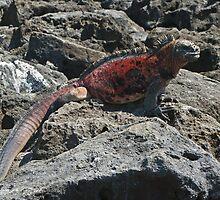 Marine Iguana by bulljup