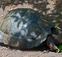 Giant Tortoise by bulljup