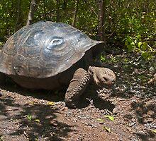 Giant Tortoise2 by bulljup