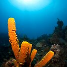 Yellow Tube Sponge by Todd Krebs