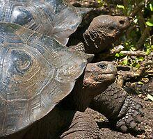 Giant Tortoise4 by bulljup
