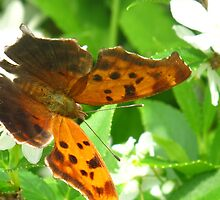 Comma Polygonia by MarianBendeth