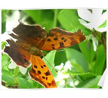 Comma Polygonia Poster