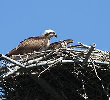 New Osprey Chick by byronbackyard