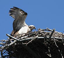 New Osprey Chick 2 by byronbackyard