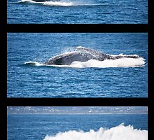 Humpback Breach Montage by Odille Esmonde-Morgan