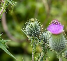 Milk Thistle by stay-focussed