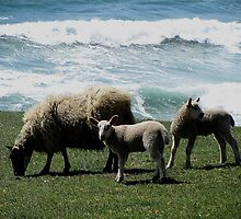 South Devon Coast Gara Rock Sheep And Two Lambs Grazeing With Wild Sea Spring 2011 by richard wolfe