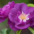 'Rhapsody In Blue' Rose by Yair Karelic