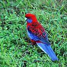 Crimson Rosella. Cedar Creek, Queensland, Australia. (2) by Ralph de Zilva