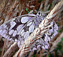 Marbled Butterfly by naturelover