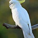 Sulphur Crested Cockatoo. Cedar Creek, Australia.  by Ralph de Zilva