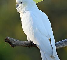 Sulphur Crested Cockatoo. Cedar Creek, Australia.  by Ralph de Zilva