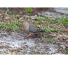 BackYard Dove Photographic Print