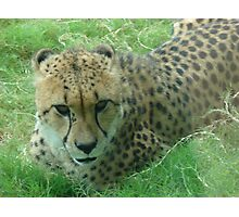 """Cheetah""  by Carter L. Shepard Photographic Print"