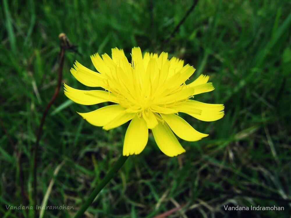 Daffodil by Vandana Indramohan