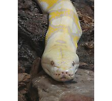 """White Boaconstrictor""  by Carter L. Shepard Photographic Print"