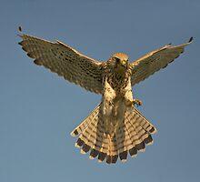 Kestrel landing by wildlifephoto