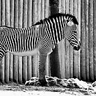 Zebra by Chad Eastman
