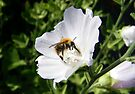 Bee on a White Clematis  by LoneAngel
