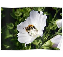 Bee on a White Clematis  Poster
