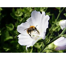 Bee on a White Clematis  Photographic Print