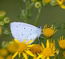 Holly Blue by Gill Langridge