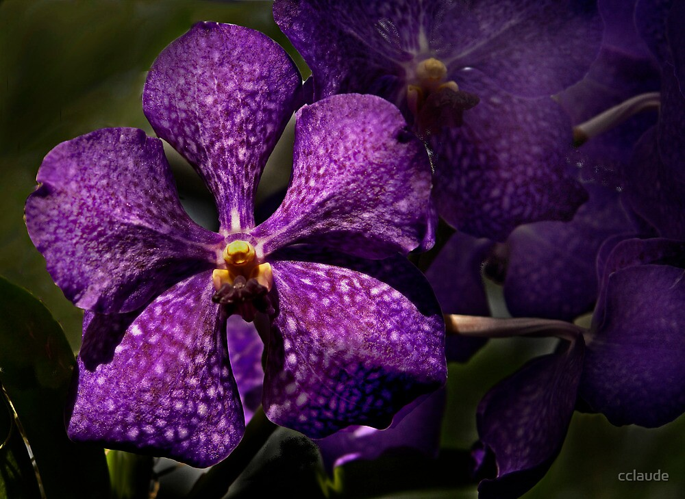 Purple Orchid by cclaude